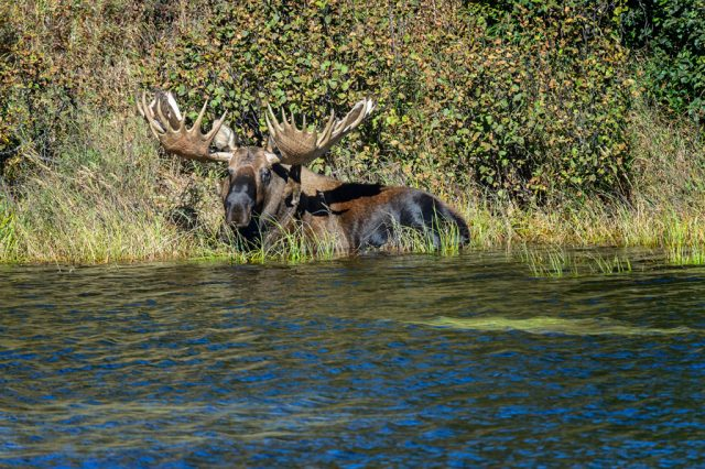 Wildlife photographs of Moose (Alces alces) Laying in a Kettle Pond