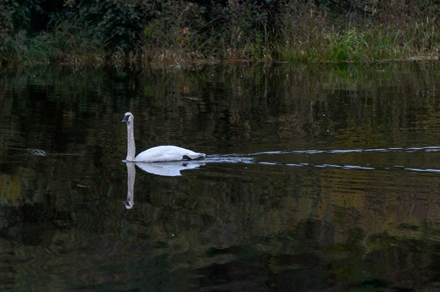 Migrating (South) Trumpeter Swan (Cygnus buccinator)