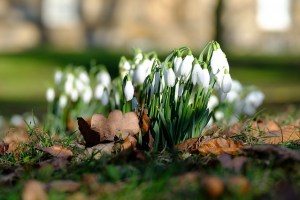 flowers snowdrops