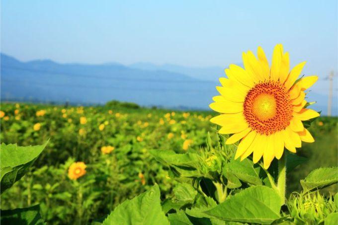ひまわり 畑 徳島