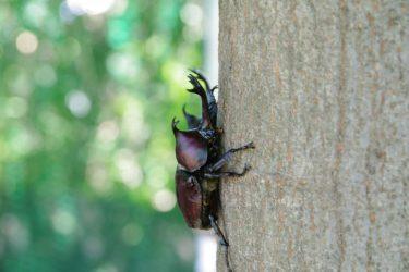 カブトムシ採集の方法と時期・時間・天気。見つけやすい木はどんなもの?