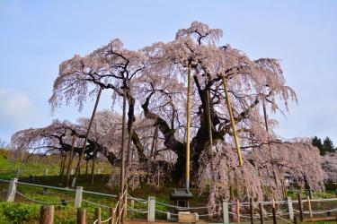 三春滝桜の見頃はいつ?満開時の混み具合と駐車場情報を解説!