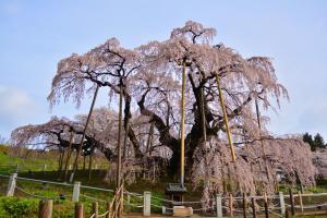 三春滝桜見頃