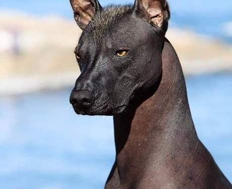 The Xoloitzcuintli (Mexican hairless dog) is considered a guide for the dead towards the underworld by the Aztecs.