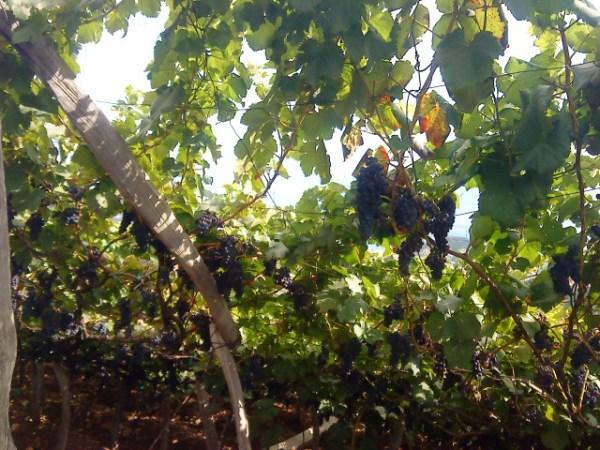 Estreito.uvas