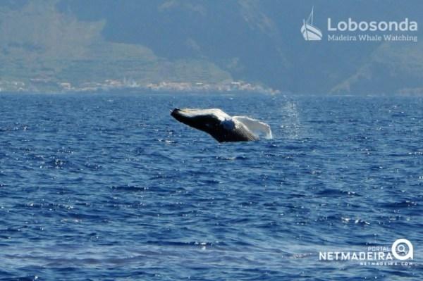 (Foto Lobosonda - Madeira Whalewatching)