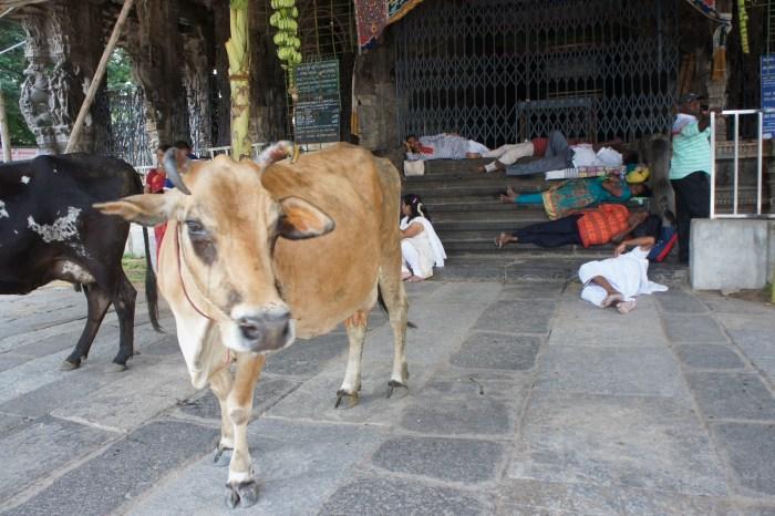 As vacas sagradas passeiam livremente até no interior dos templos