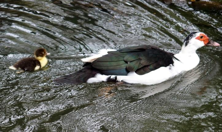 patos lagoa do Jardim