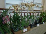 Exposição de orquídeas do Orquidário Lumani (foto Agnaldo Montesso 09-10-2018) (18)