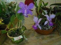 Exposição de orquídeas do Orquidário Lumani (foto Agnaldo Montesso 09-10-2018) (3)