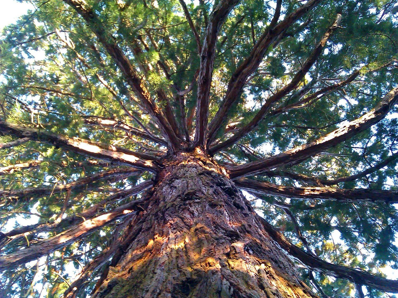 Sekwoja - drzewo dla fundacja my, sms
