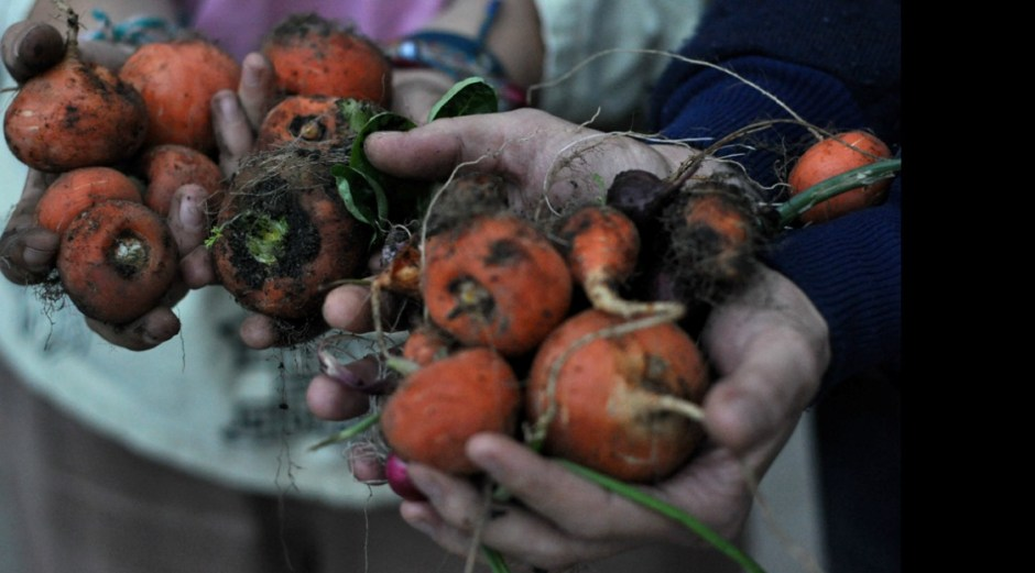 uprawa marchwii w ogrodzie społecznym