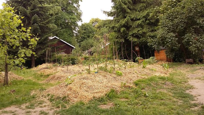 słoma, kopce i zielone badyle - typowa permakultura