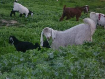 Goats & the Green Hills, 2011