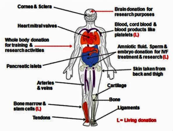 organ donation organs