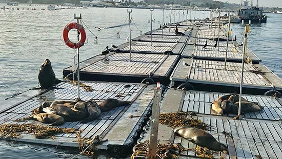 Sea Lions on the Bait Barge