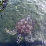 Sea Turtles in Curacao
