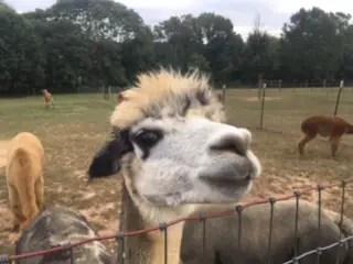 Free Family Fun Event #2: Alpaca Farm