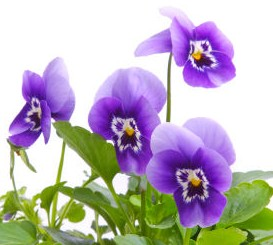 Fun Flower Facts  Pansy   Grower Direct Fresh Cut Flowers Presents    The pansy is one of the most popular flowers in the garden  Despite their  delicate name and appearance  pansies are hardy  disease resistant and do  well in