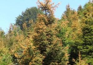 cancro dell'abete rosso/Picea abies