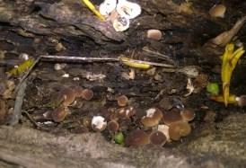 Funghi lignicoli, Pioppini, Lombardia - foto: Andrea Ceschi