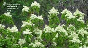 Fraxinus ornus o Orniello, fiori