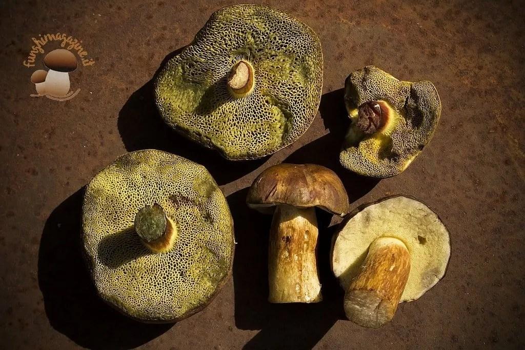 Imleria Badia Boletus Badius Xerocomus Badius. I funghi Castanelli
