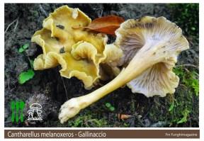 Cantherellus melanoxeros