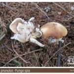 Clitopilus prunulus Fungo Spia