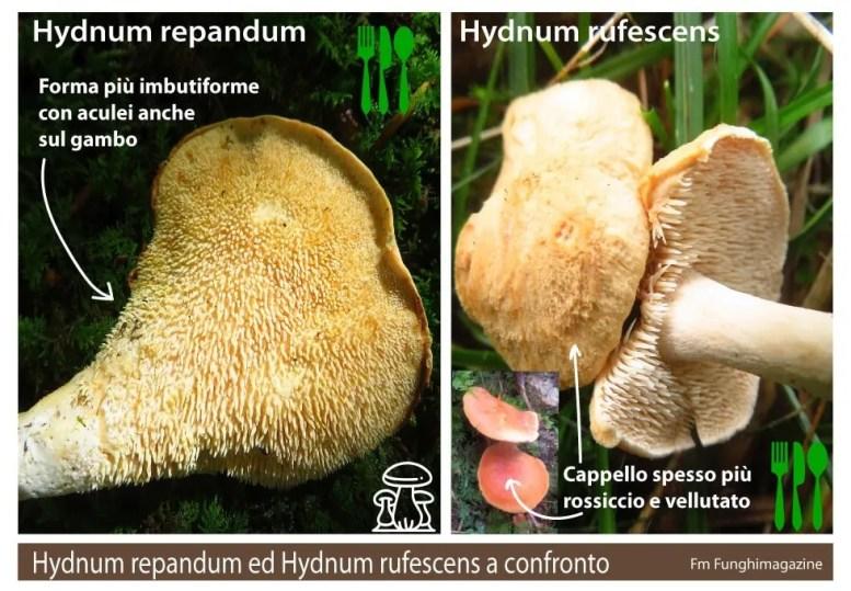 Hydnum rufescens e repandum a confronto