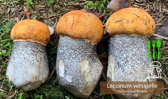 Porcinello rosso Leccinum versipelle