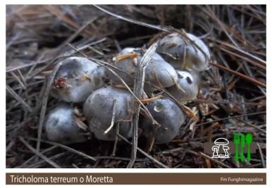 Tricholoma terreum o Moretta
