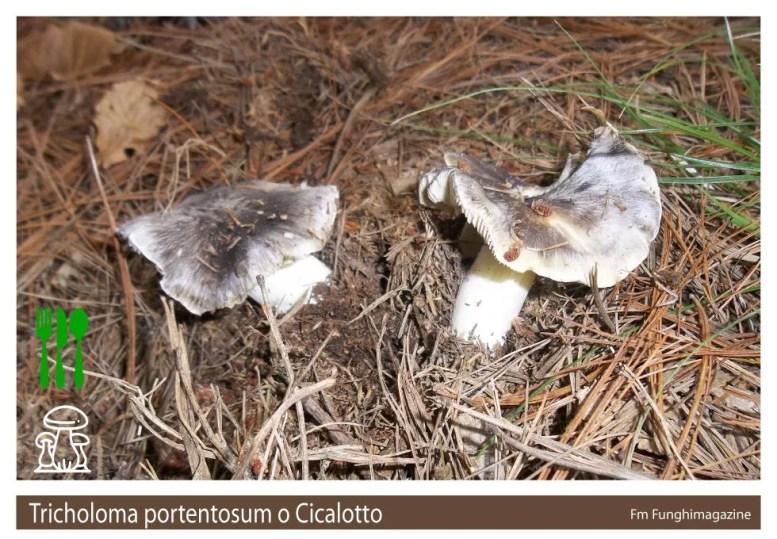 Tricholoma portentosum Cicalotto
