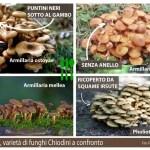 funghi Chiodini a confronto
