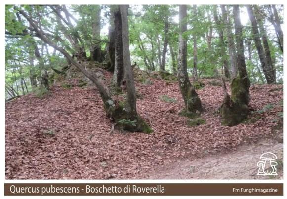 Quercus pubescens Roverella