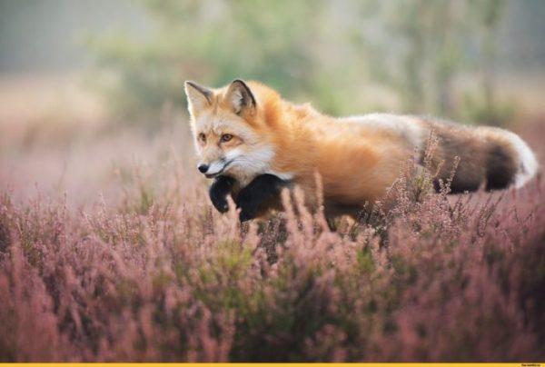 Красивые фотографии лис (60 фото)