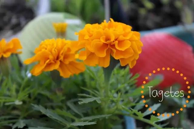 Tagetes Blumenwichteln 2014