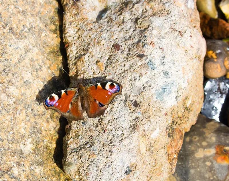 Schmetterling auf Rügen