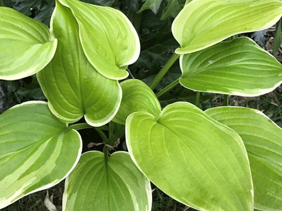 Funkia Hosta-Fragrant-Bouquet