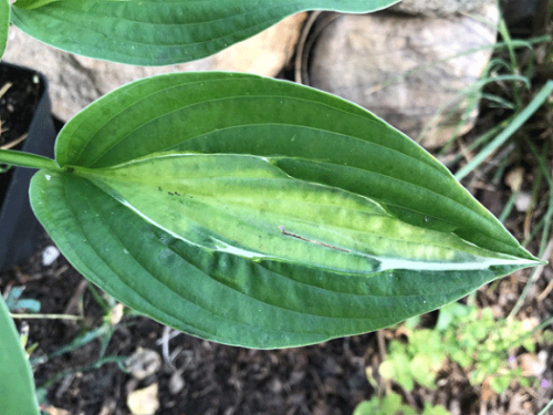 Hosta-Striptease