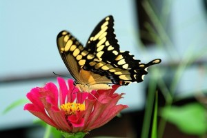Zinnia flowers attract butterflies
