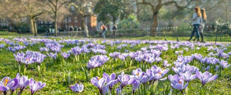 Massor av lila krokusblommor. I bakgrunden människor som rör sig på en gångväg.