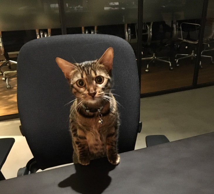 Athena the cat in the office