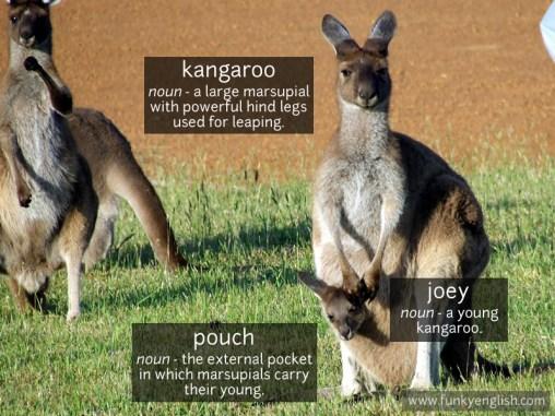 Kangaroo photo vocabulary