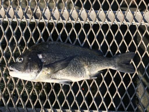 大黒海釣り施設で黒鯛とメバル釣り