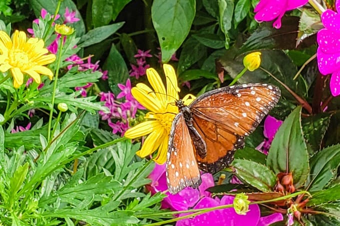 Butterfly in the butterfly garden at Epcot
