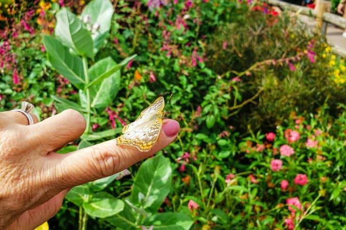 Yellow and brown butterfly on finger