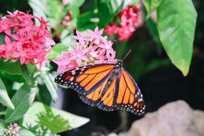 Monarch butterfly in the butterfly garden