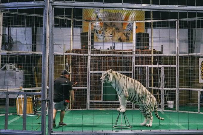 Tiger show at the Big Cat Habitat Animal Sanctuary