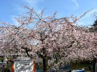 綿打池ボート乗り場付近の桜2